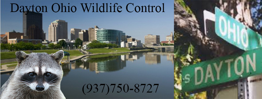 wildlife control dayton ohio