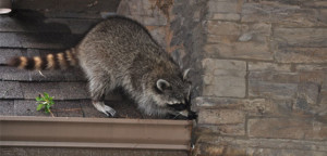 wildlife control dayton ohio raccoon on roof