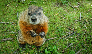 wildife control dayton ohio groundhog