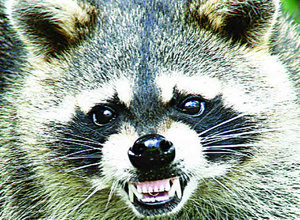 wildlife control dayton ohio growling raccoon