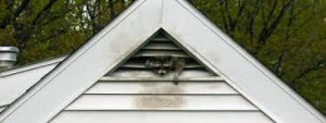 Advanced Wildlife raccoon in gable vent