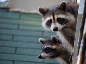 animal removal dayton ohio 2 raccoons on roof