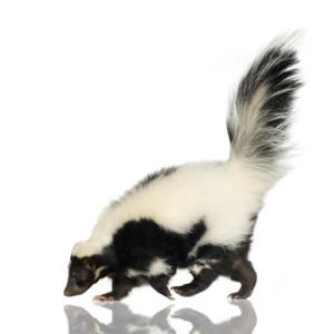 skunk removal dayton