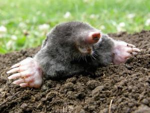 mole removal dayton