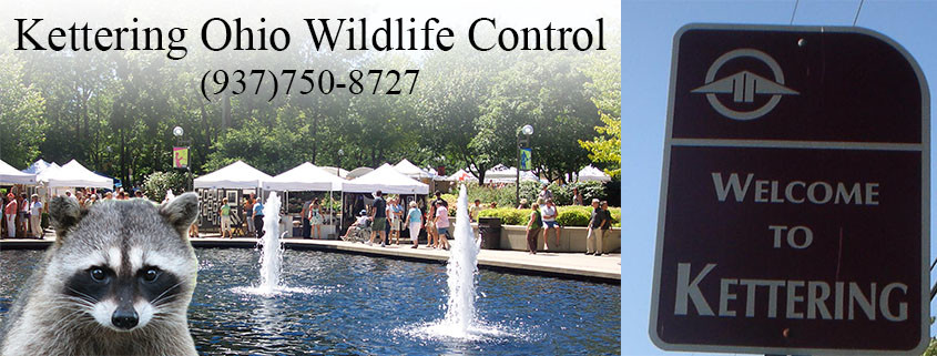 Kettering Ohio wildlife control
