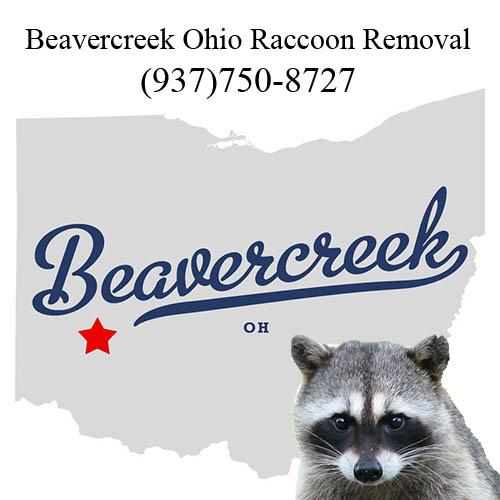 Beavercreek raccoon removal