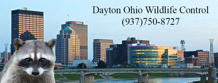 Dayton ohio wildlife control
