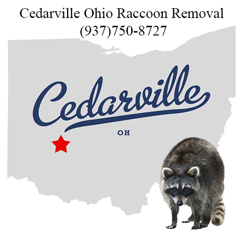 Cedarville Ohio Raccoon Removal