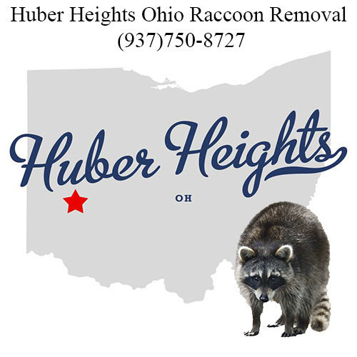 Huber Heights raccoon removal Ohio