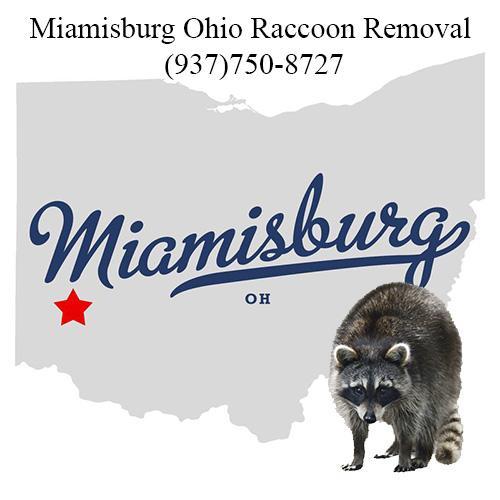 Miamisburg Ohio Raccoon Removal