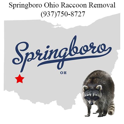 Springboro Ohio Raccoon Removal
