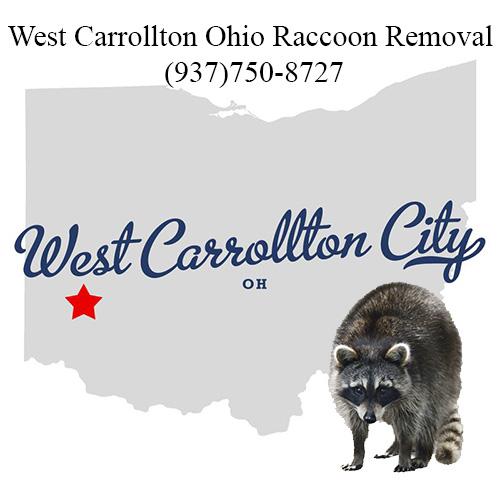 West Carrollton Ohio Raccoon Removal