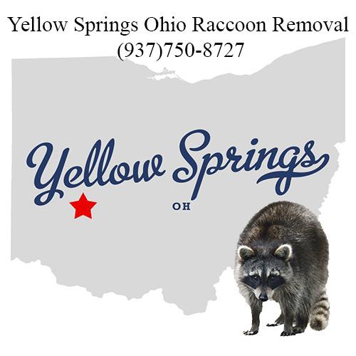 Yellow Springs Ohio Raccoon Removal