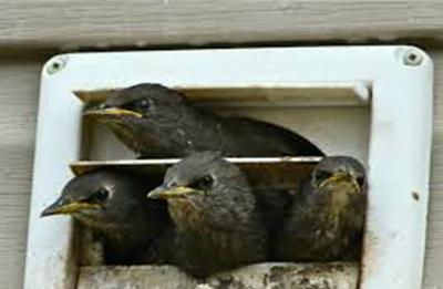 Dayton Ohio Bird Removal Experts Safe Humane Methods