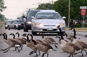 Dayton goose removal