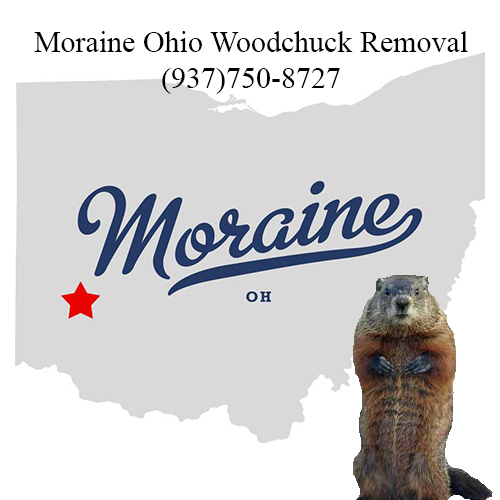 Moraine ohio woodchuck removal