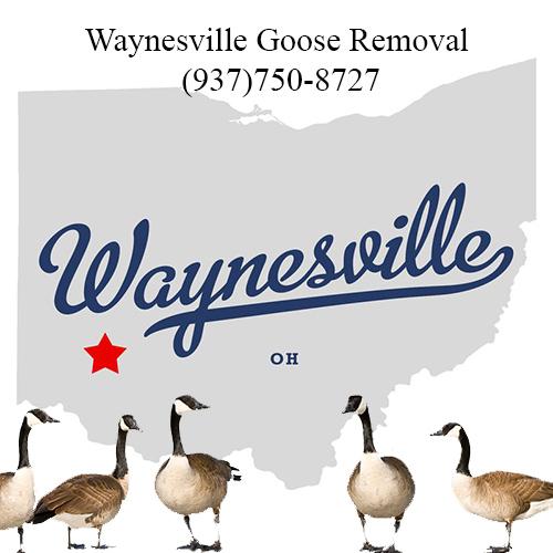 waynesville ohio goose removal (937)750-8727
