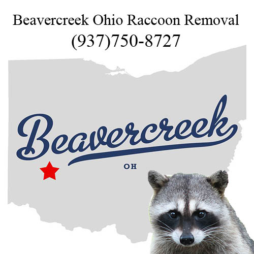 Beavercreek-raccoon-in-attic