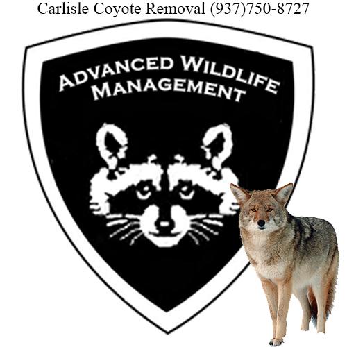 carlisle coyote removal (937)750-8727