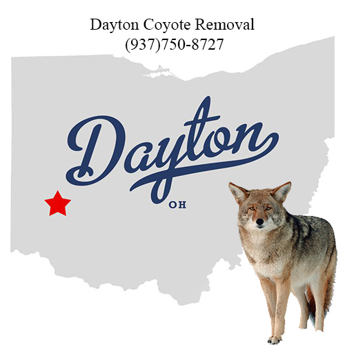 dayton coyote removal (937)750-8727