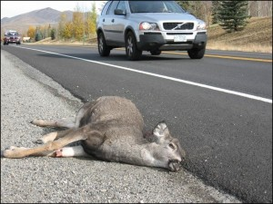 dead-deer-car