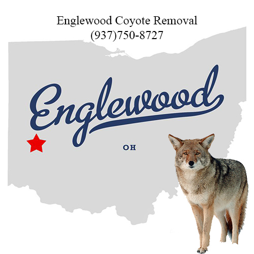 englewood coyote removal (937)750-8727