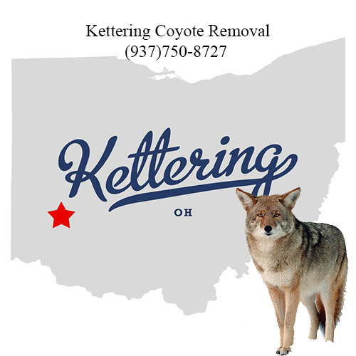 kettering coyote removal (937)750-8727