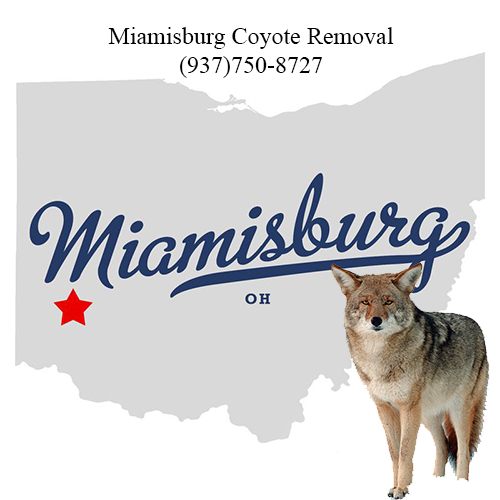 miamisburg coyote removal (937)750-8727