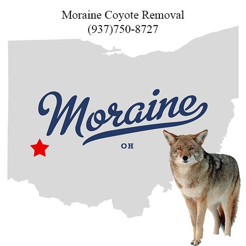 moraine coyote removal (937)750-8727