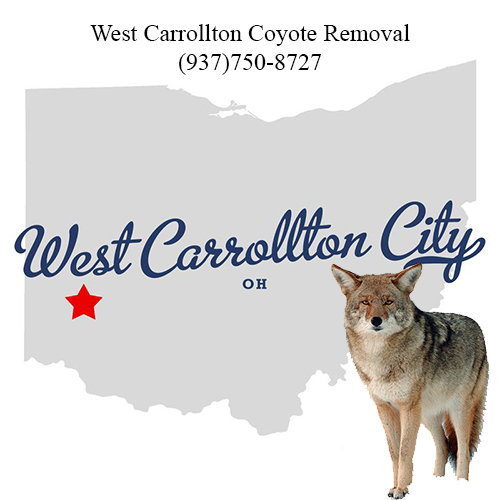 west carrollton coyote removal (937)750-8727