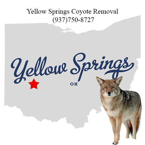 yellow springs coyote removal (937)750-8727