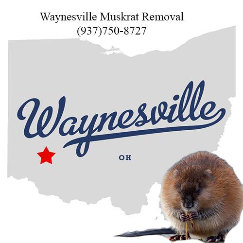 waynesville muskrat removal (937)750-8727
