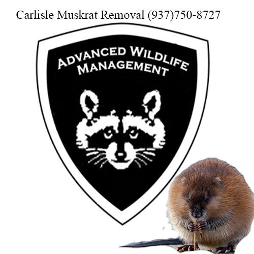 carlisle muskrat removal (937)750-8727