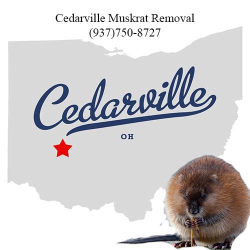 cedarville muskrat removal (937)750-8727