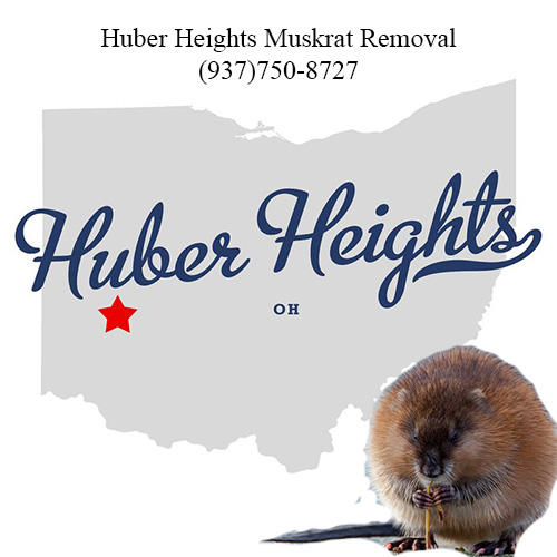 huber heights muskrat removal (937)750-8727