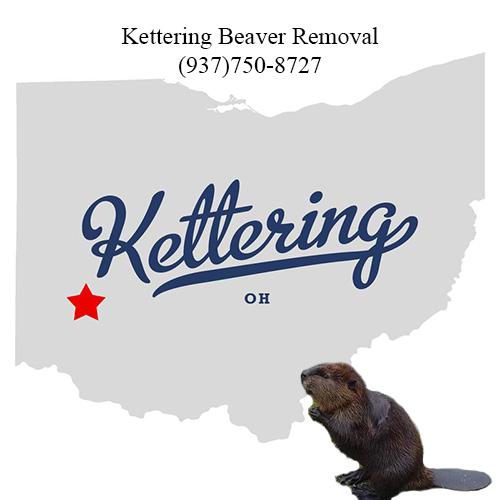 kettering beaver removal (937)750-8727