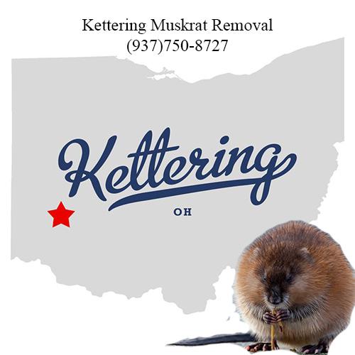 kettering muskrat removal (9347)750-8727