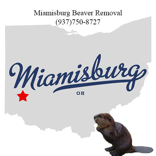 miamisburg beaver removal (937)750-8727