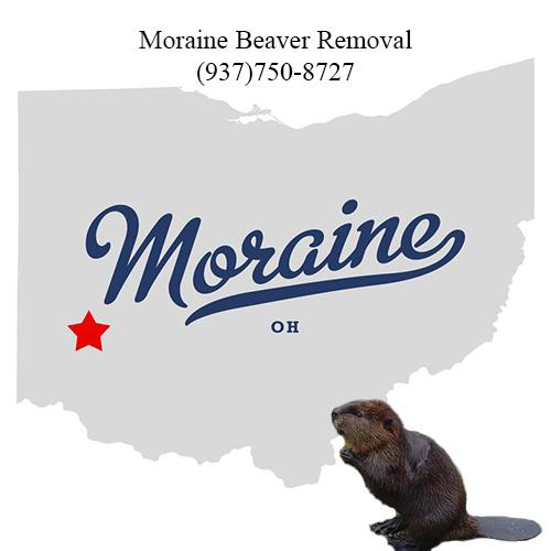 moraine beaver removal (937)750-8727