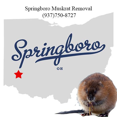 springboro muskrat removal (937)750-8727