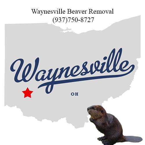 waynesville beaver removal (937)750-8727