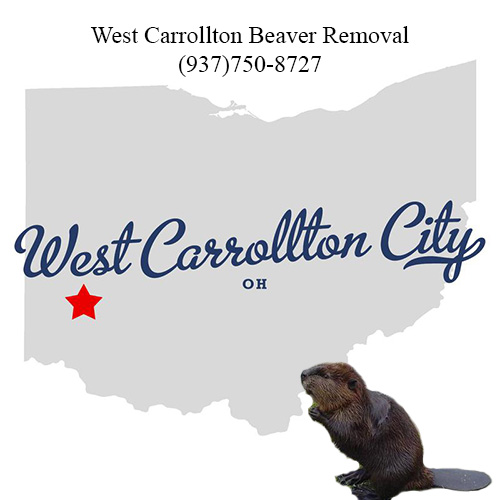 west carrollton beaver removal (937)750-8727