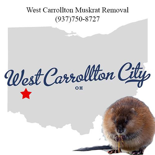 west carrollton muskrat removal (937)750-8727