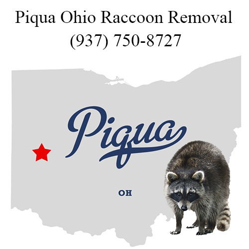 Piqua Raccoon Removal Ohio